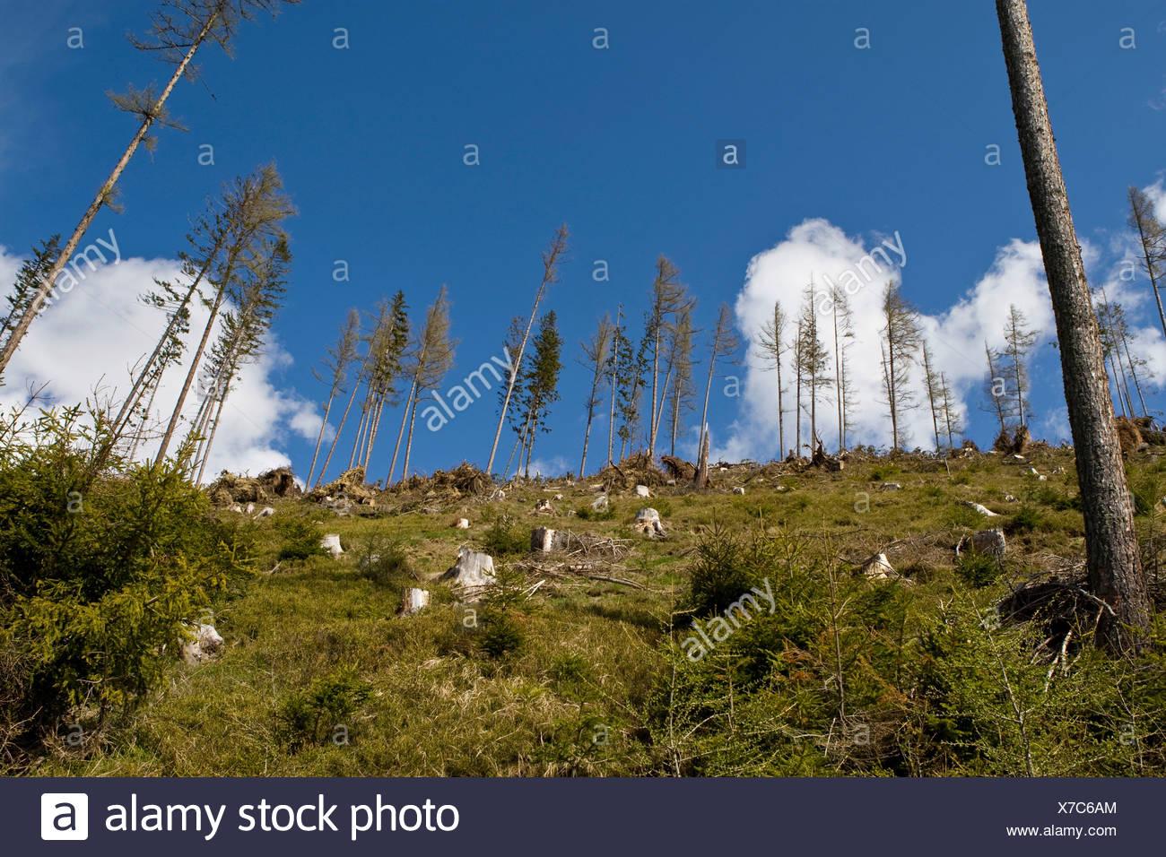 Tree stumps on a mountain slope, storm damage, Styria, Austria, Europe - Stock Image