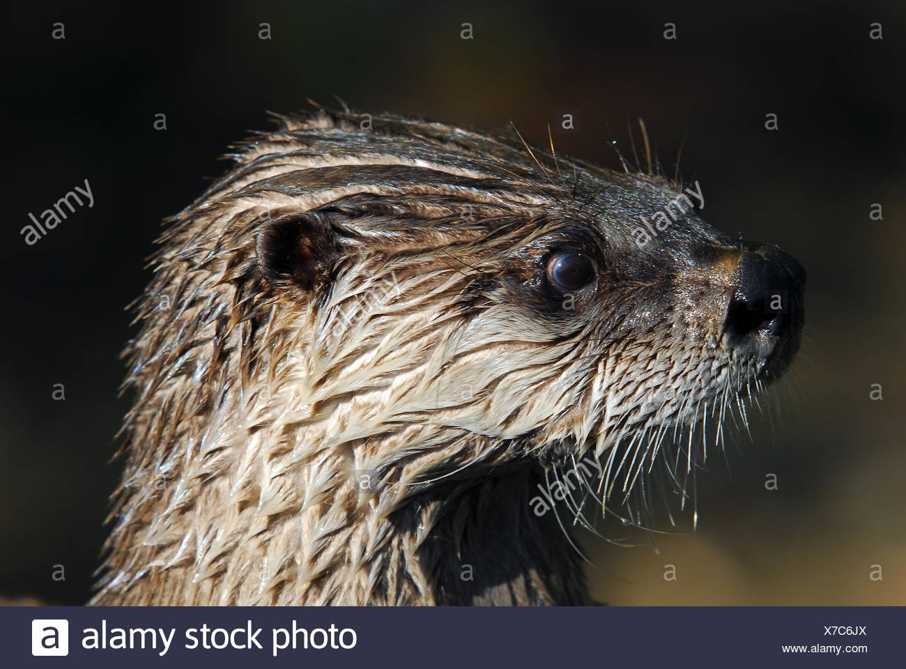 Close-up portrait of a wet Northern River Otter - Stock Image