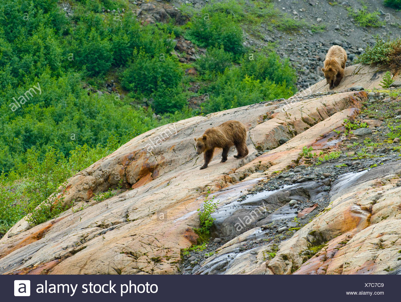Mother and young female Grizzly bears (Ursus arctos horribilis) descending a rock formation called a Roche Moutonnee created by - Stock Image