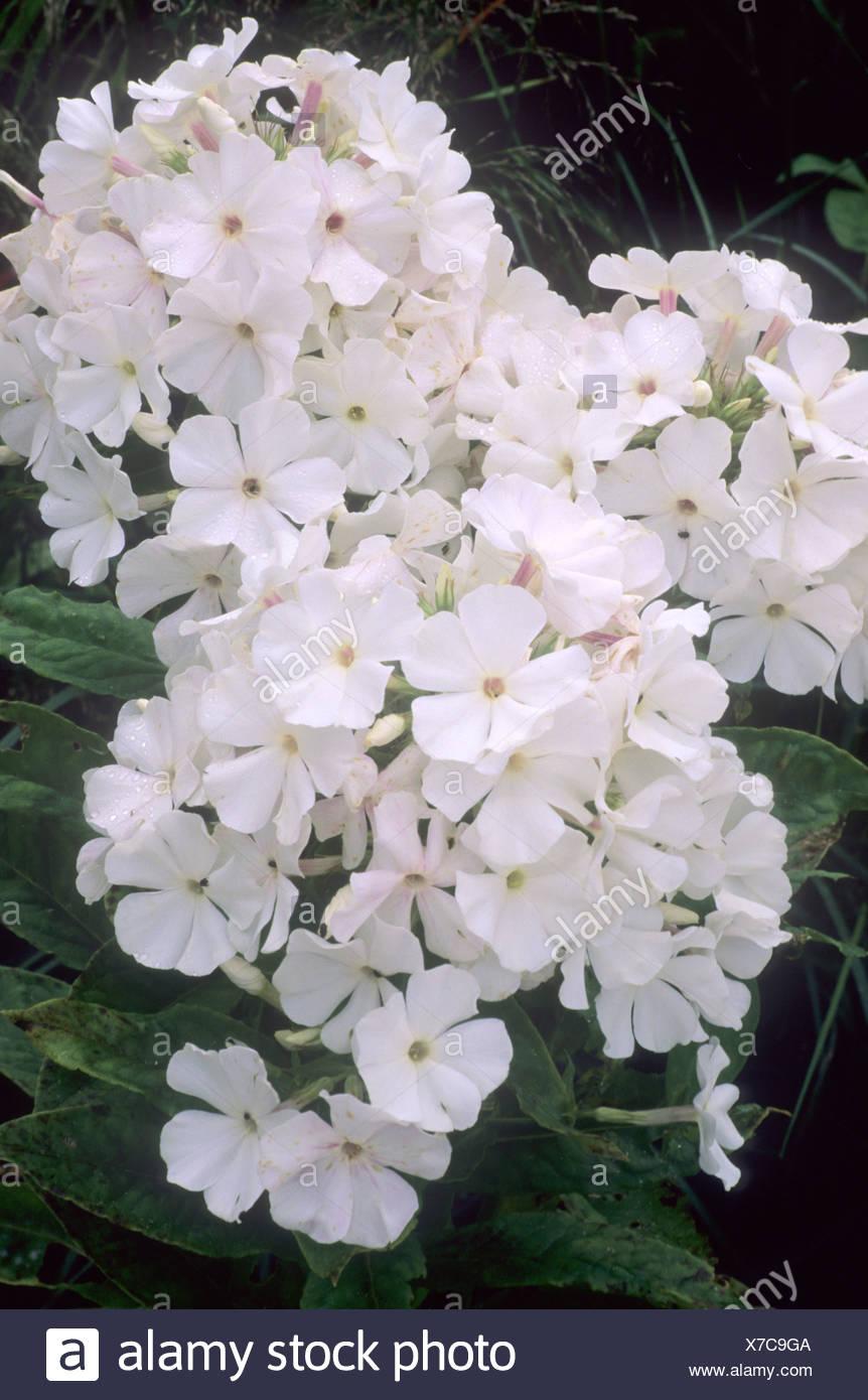 Phlox White Flame White Flower Flowers Garden Plant Plants Stock