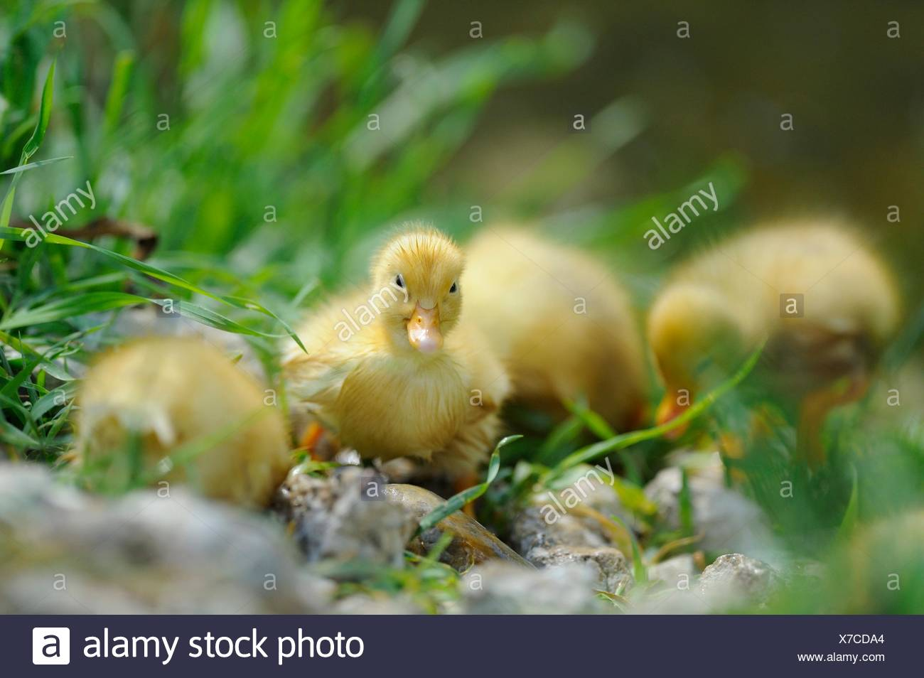 Long Island duck chicks - Stock Image