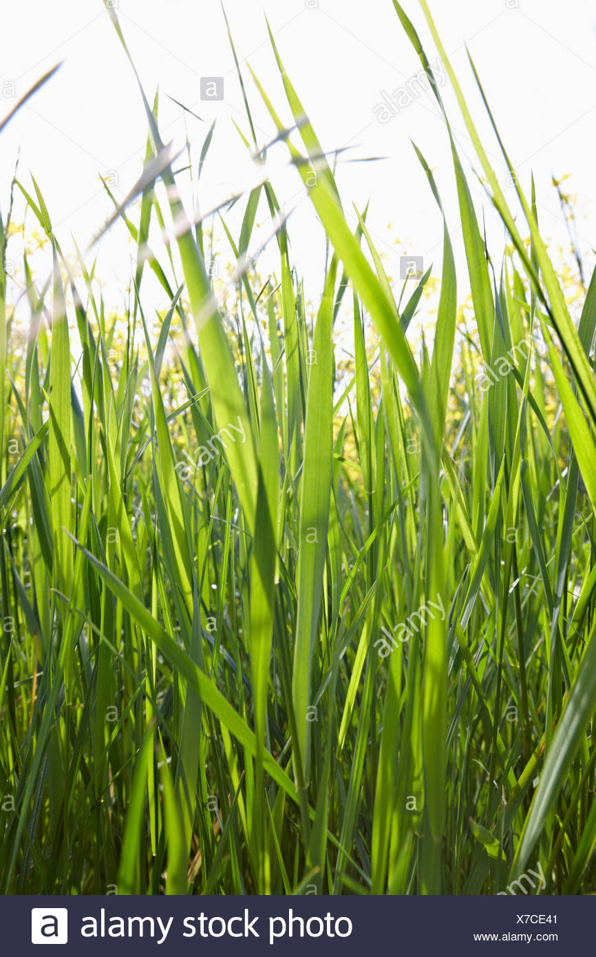 Blades of grass in sunlight - Stock Image
