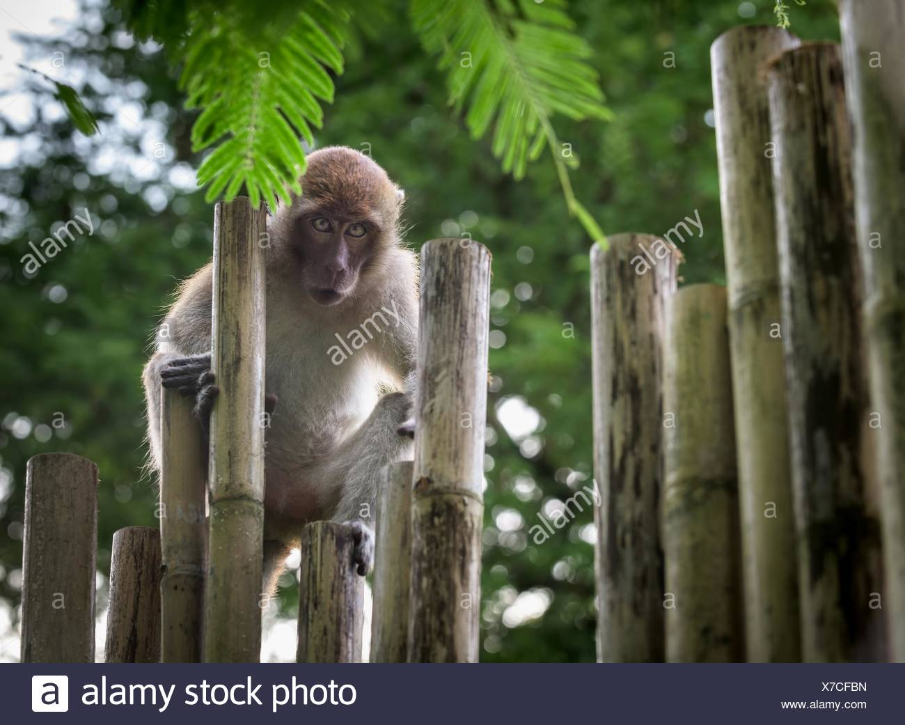 Portrait Of Monkey On Wooden Posts In Forest - Stock Image