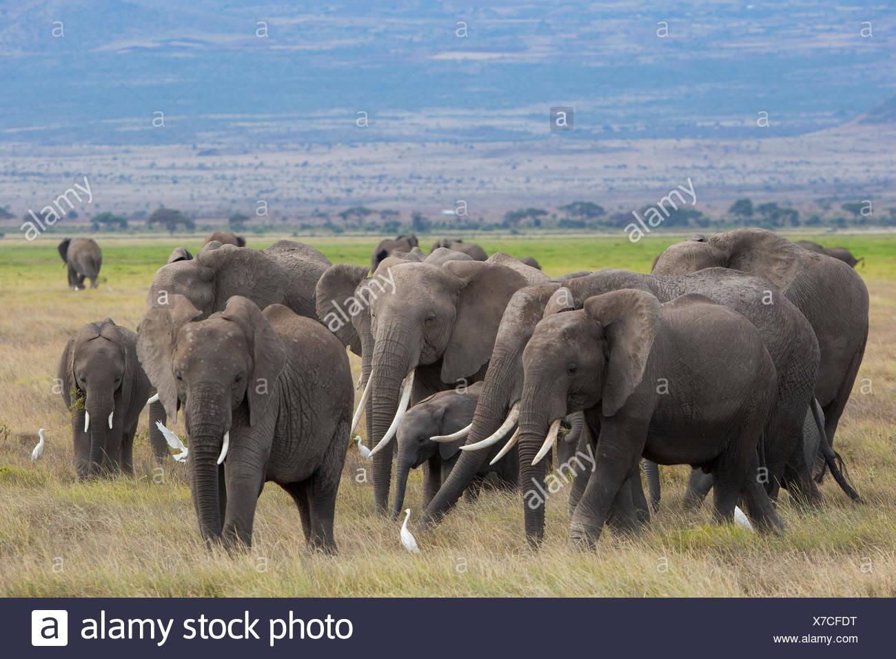 African Elephant (Loxodonta africana) Herd foraging at Amboseli National Park Kenya - Stock Image