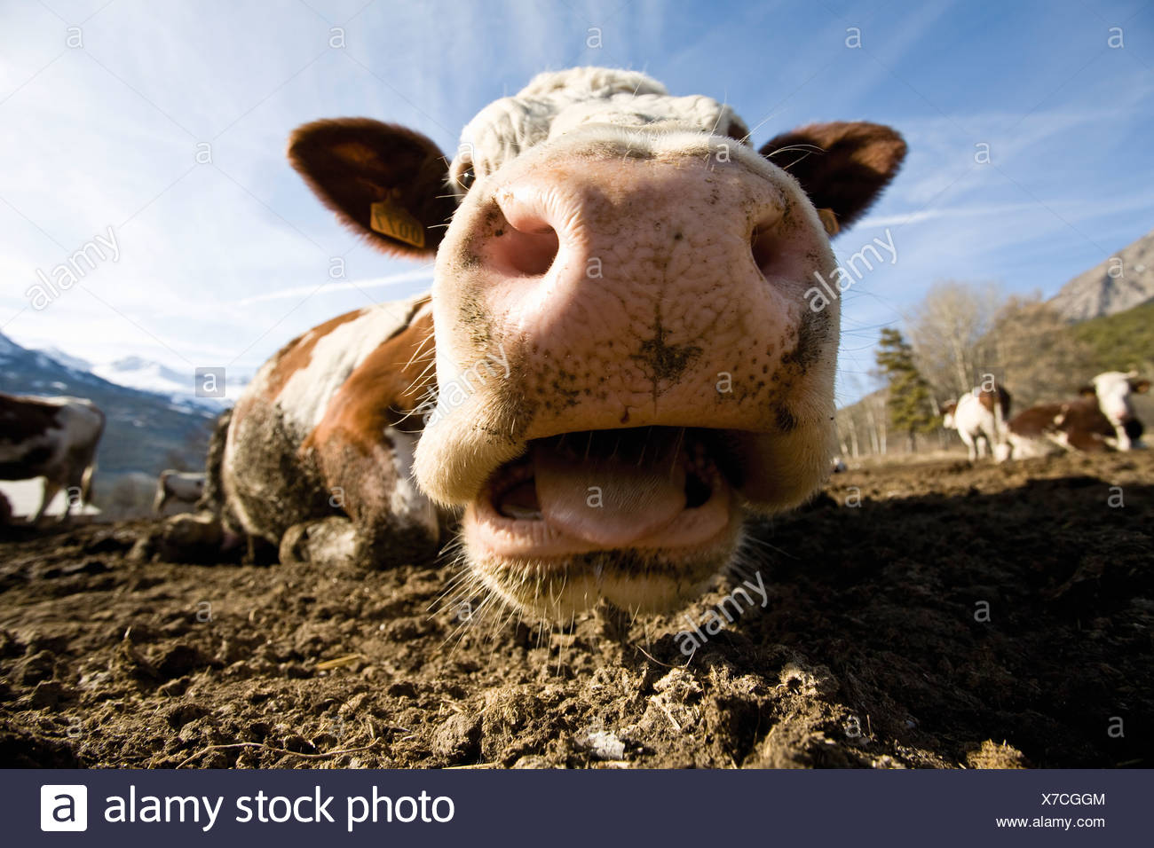Cow's snout, close-up - Stock Image