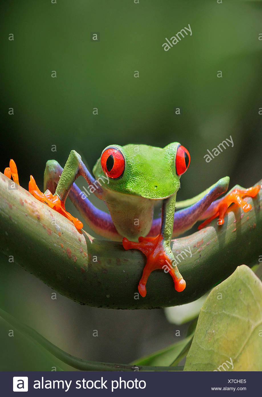 red-eyed treefrog, redeyed treefrog, redeye treefrog, red eye treefrog, red eyed frog (Agalychnis callidryas), on a branch - Stock Image