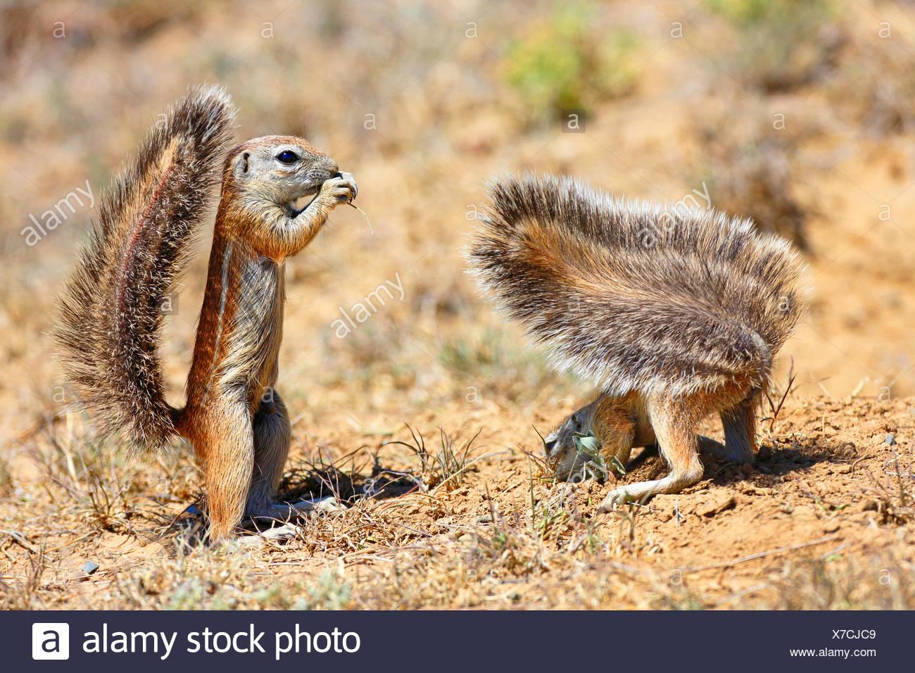 Suedafrikanisches Erdhoernchen, Kap-Erdhoernchen, Kaperdhoernchen, Kap-Borstenhoernchen, Kapborstenhoernchen, Rotes Borstenhoerc - Stock Image