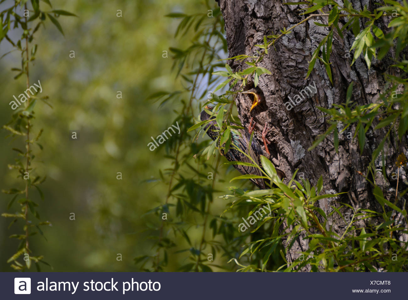 star in its nest feeding young Stock Photo