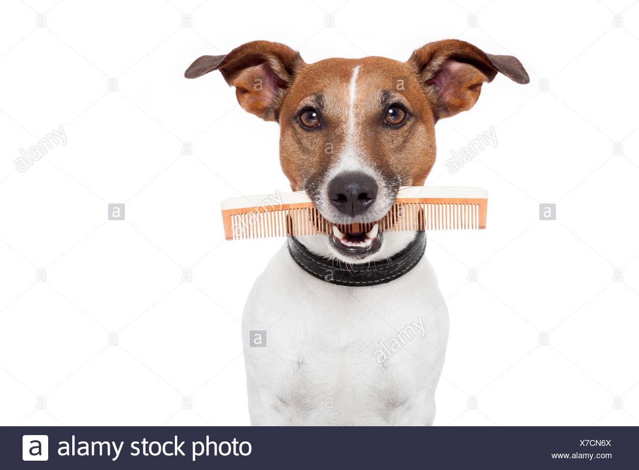 dog with comb - Stock Image