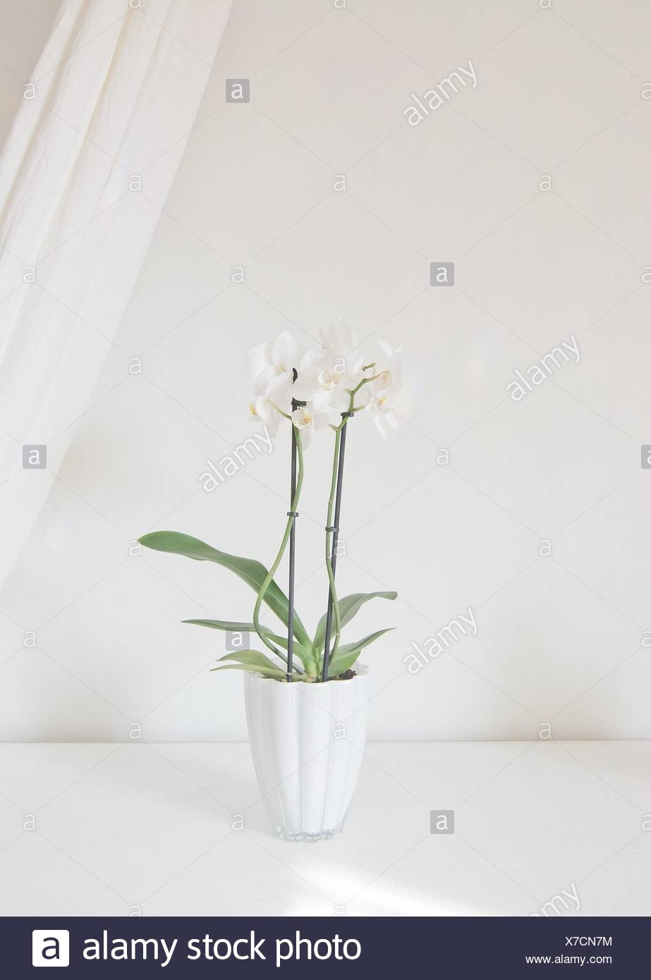 White orchid flowers in pot with white linen drape against white wall. - Stock Image