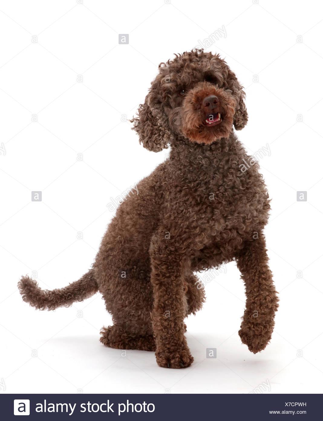 Playful Poodle. - Stock Image