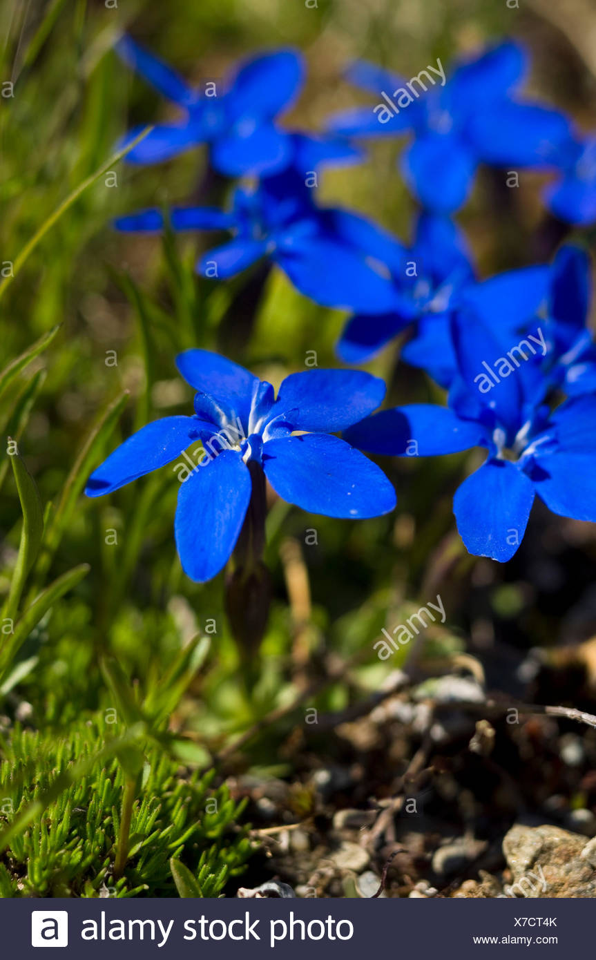 Mountain blue flowers gentians - Stock Image
