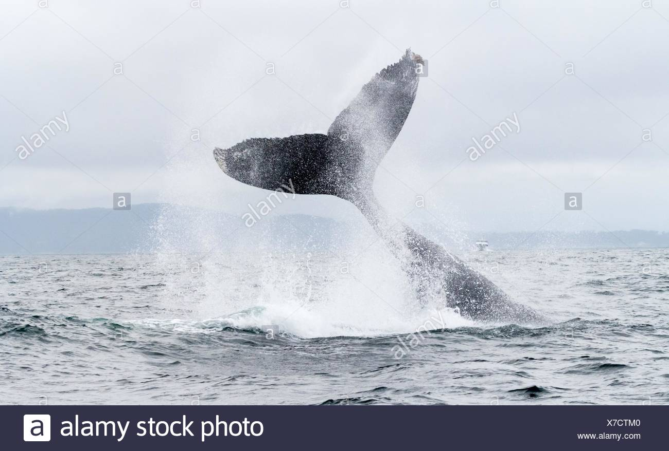Humpback Whale tail slapping in Monterey, California, USA. - Stock Image