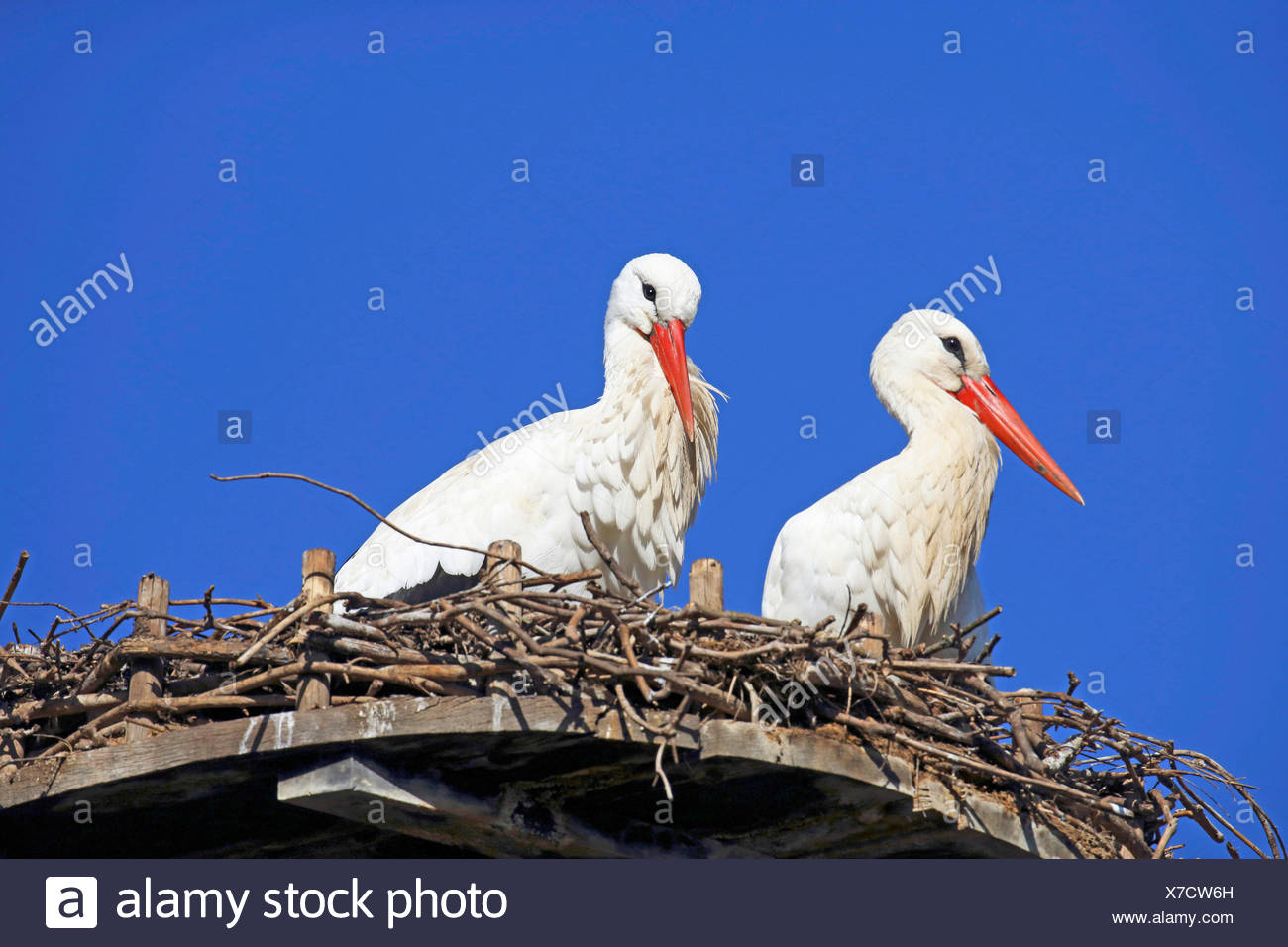 white stork (Ciconia ciconia), two storks sitting in the nest, Germany - Stock Image