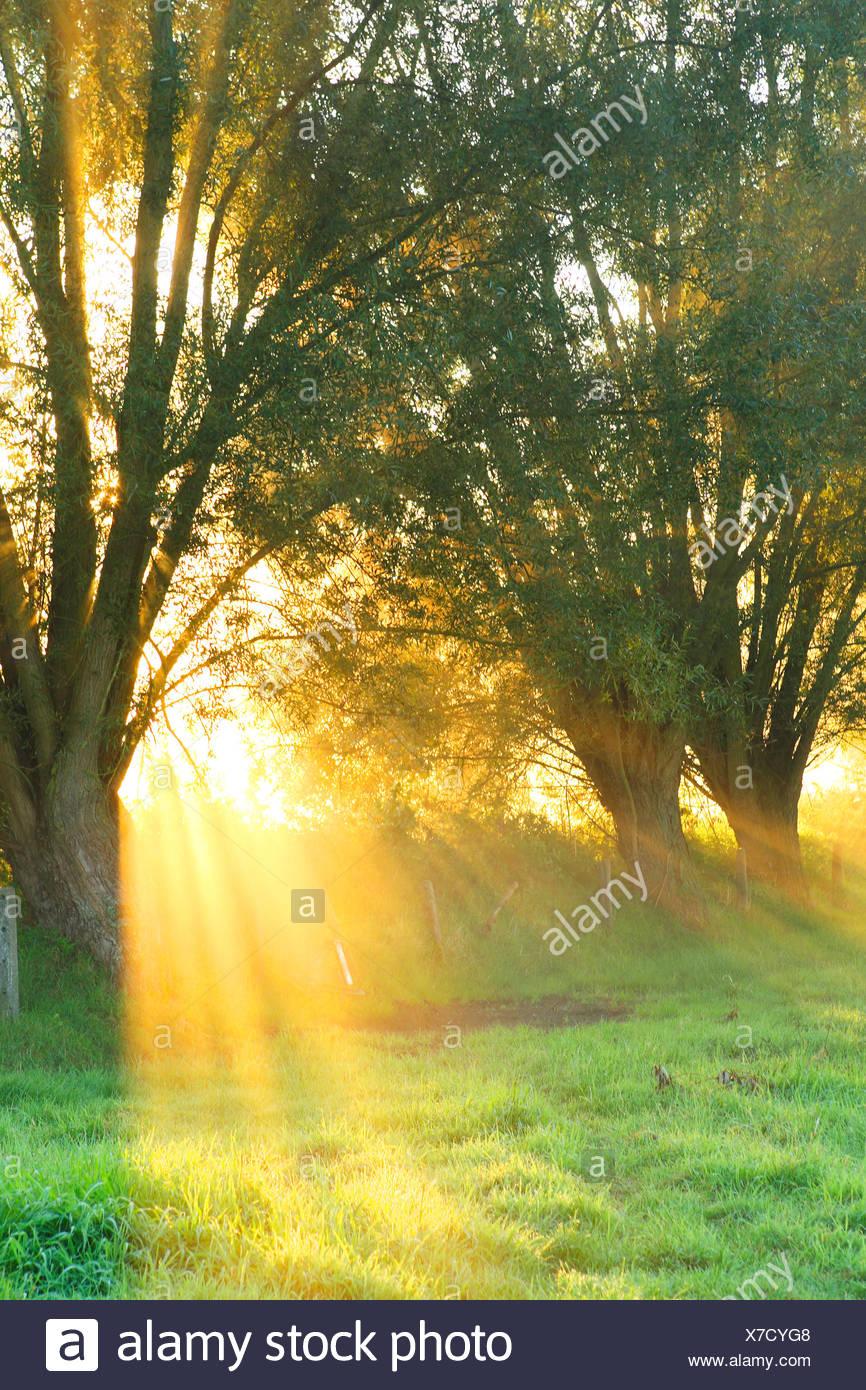 willow, osier (Salix spec.), pollard willows with sunrise and mist, Belgium - Stock Image