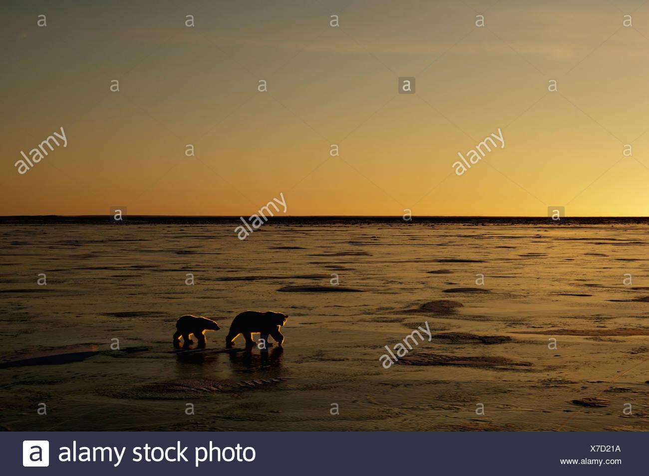 Polar bears in the wild - Stock Image