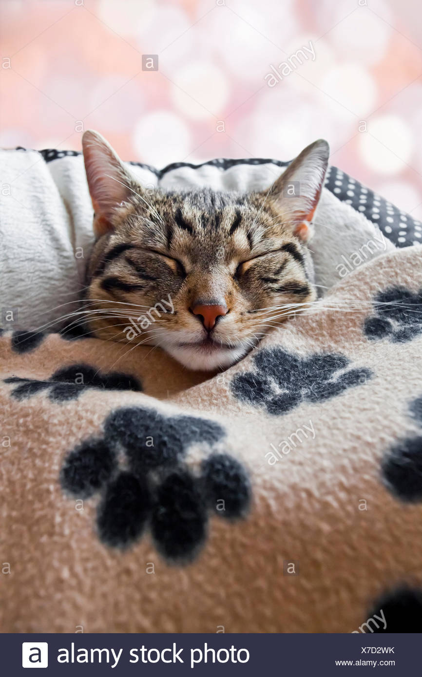 House cat sleeps under a blanket - Stock Image