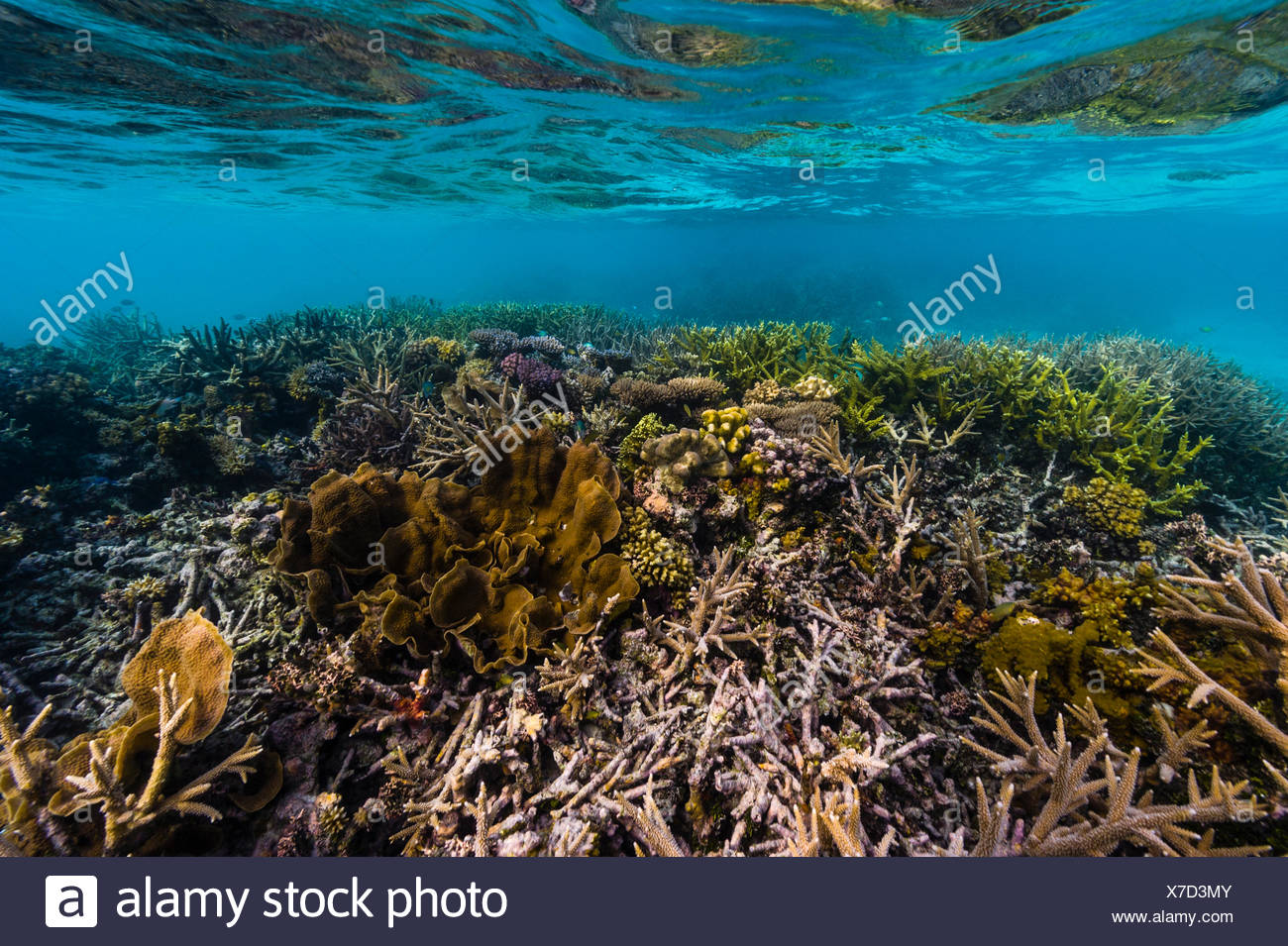 A flourishing coral reef in shallow tropical seas. - Stock Image