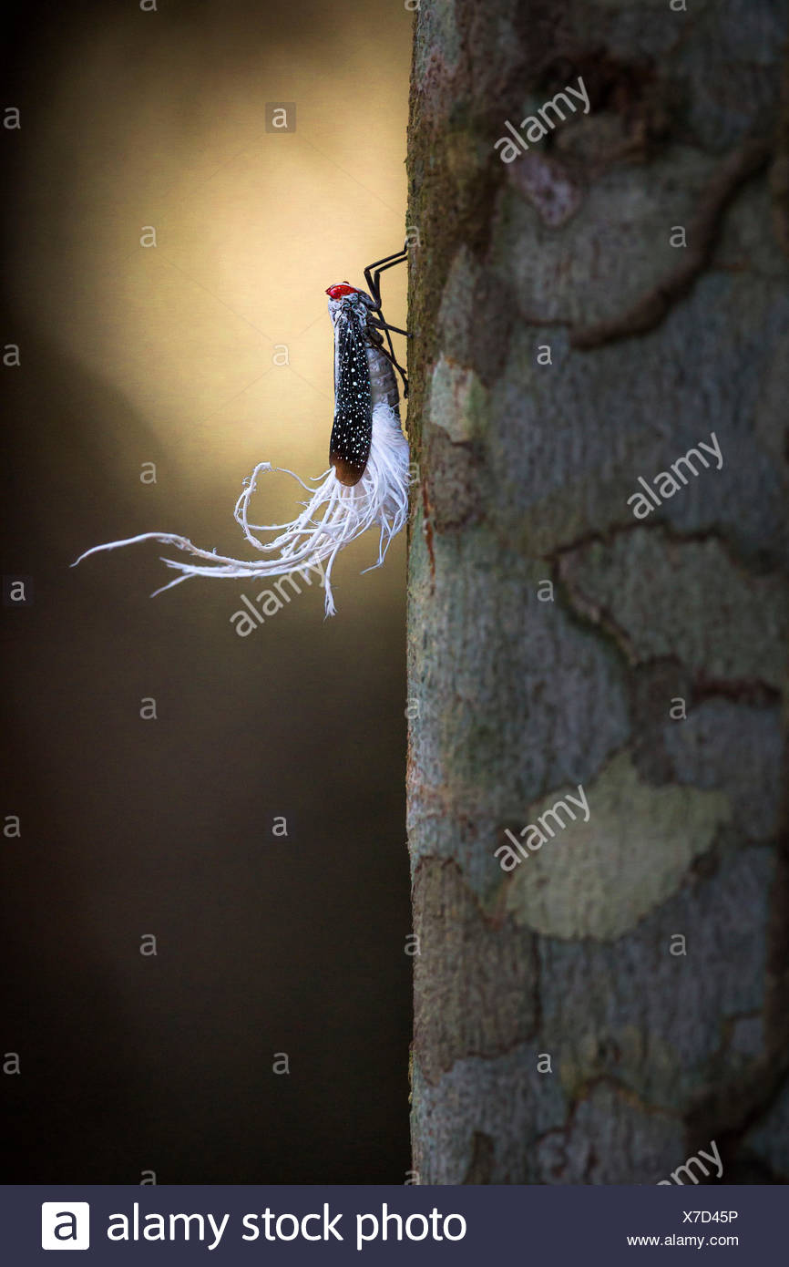 Pterodictya Reticularis: Insect with red eyes; turquoise markings; and white feather-like appendages near its tail, depicted in Rio Tapajos; south of Alter Do Chao; Parà; Santarem; Brazil, South America. - Stock Image