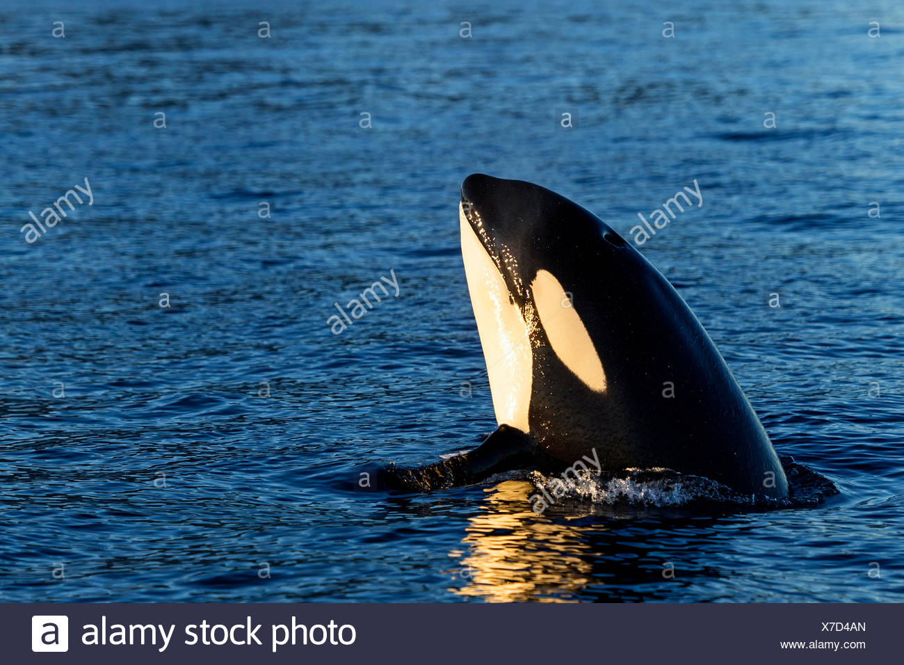 Orca (Orcinus orca) looking out of the water, Spyhopping, Kaldfjorden, Tromvik, Norway - Stock Image