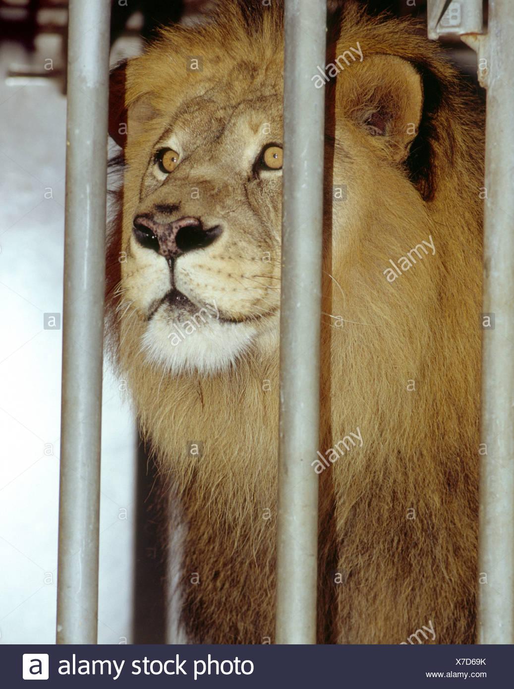 Circus Lion Stock Photos Amp Circus Lion Stock Images Alamy