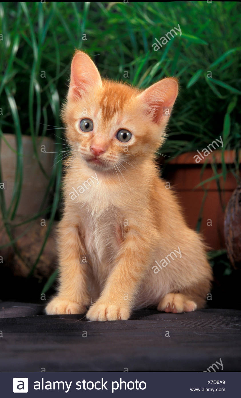 Burmese cat Kitten sitting front potted plants - Stock Image