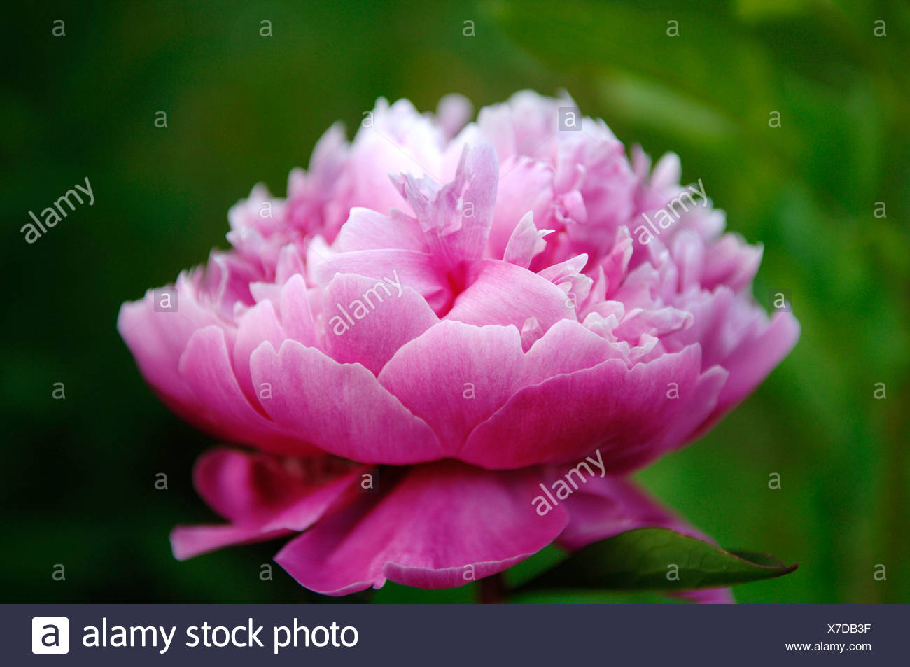 Peony or Paeony (Paeonia) blossom, Eckental Valley, Middle Franconia, Bavaria, Germany, Europe Stock Photo