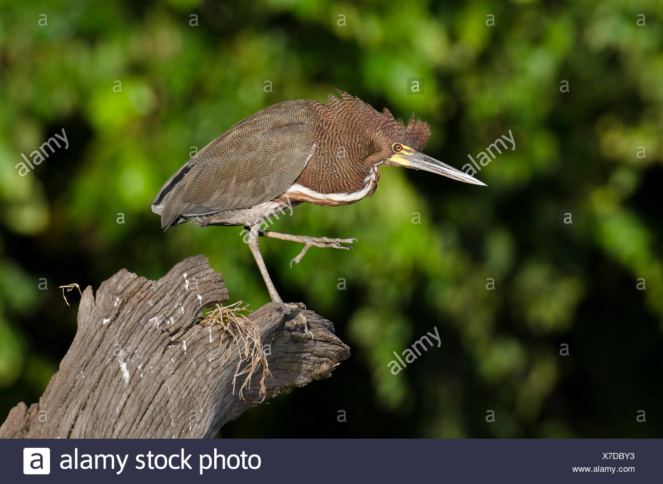 A rufescent tiger heron, Tigrisoma lineatum, scratching. Stock Photo