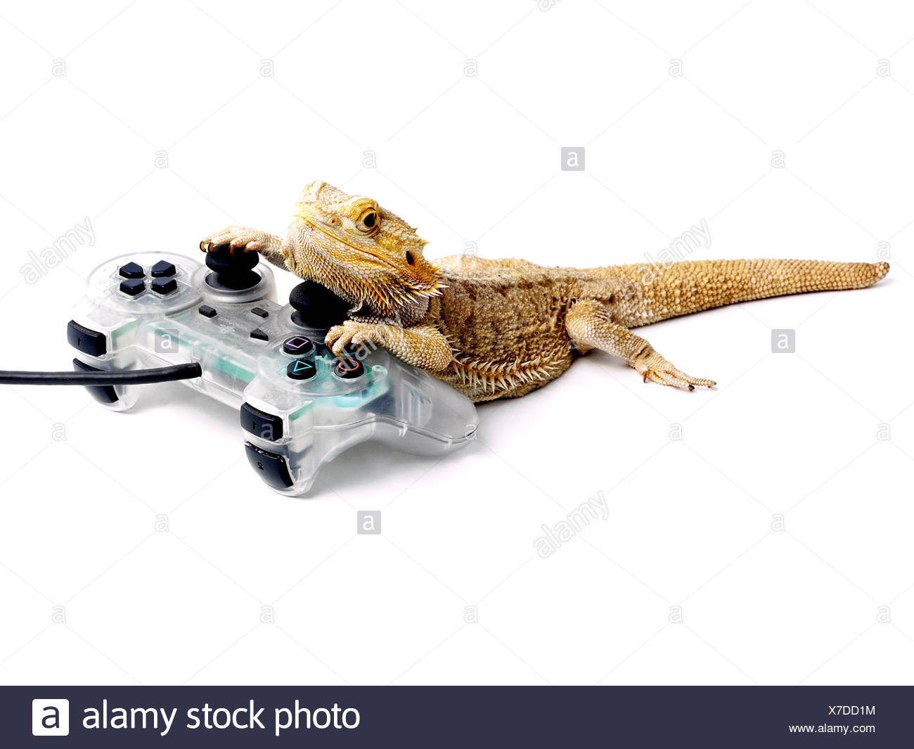 Bearded dragon with a playstation. Stock Photo