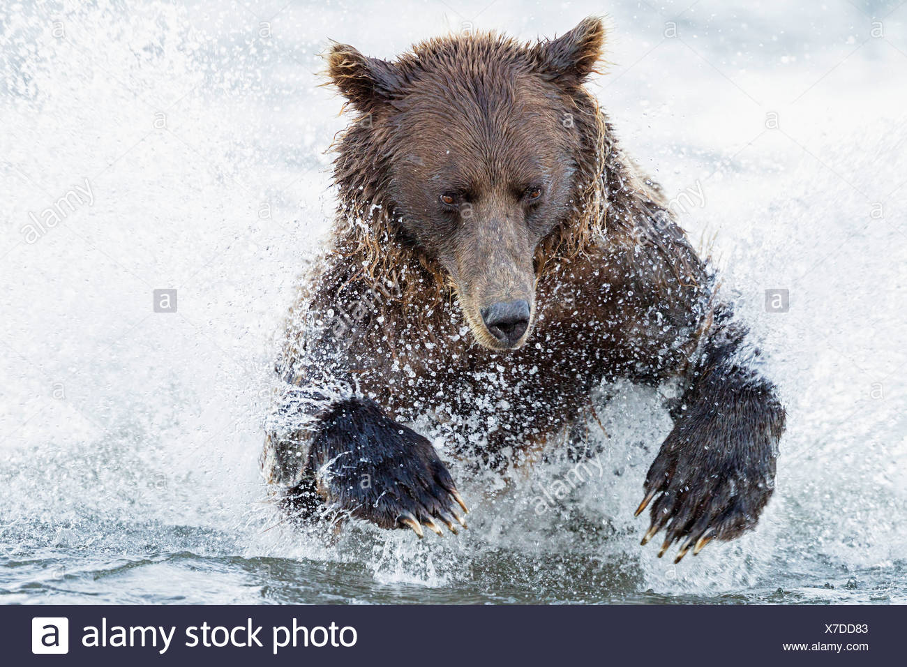 USA, Alaska, Brown bear is trying to catch salmon in Silver salmon creek at Lake Clark National Park and Preserve - Stock Image