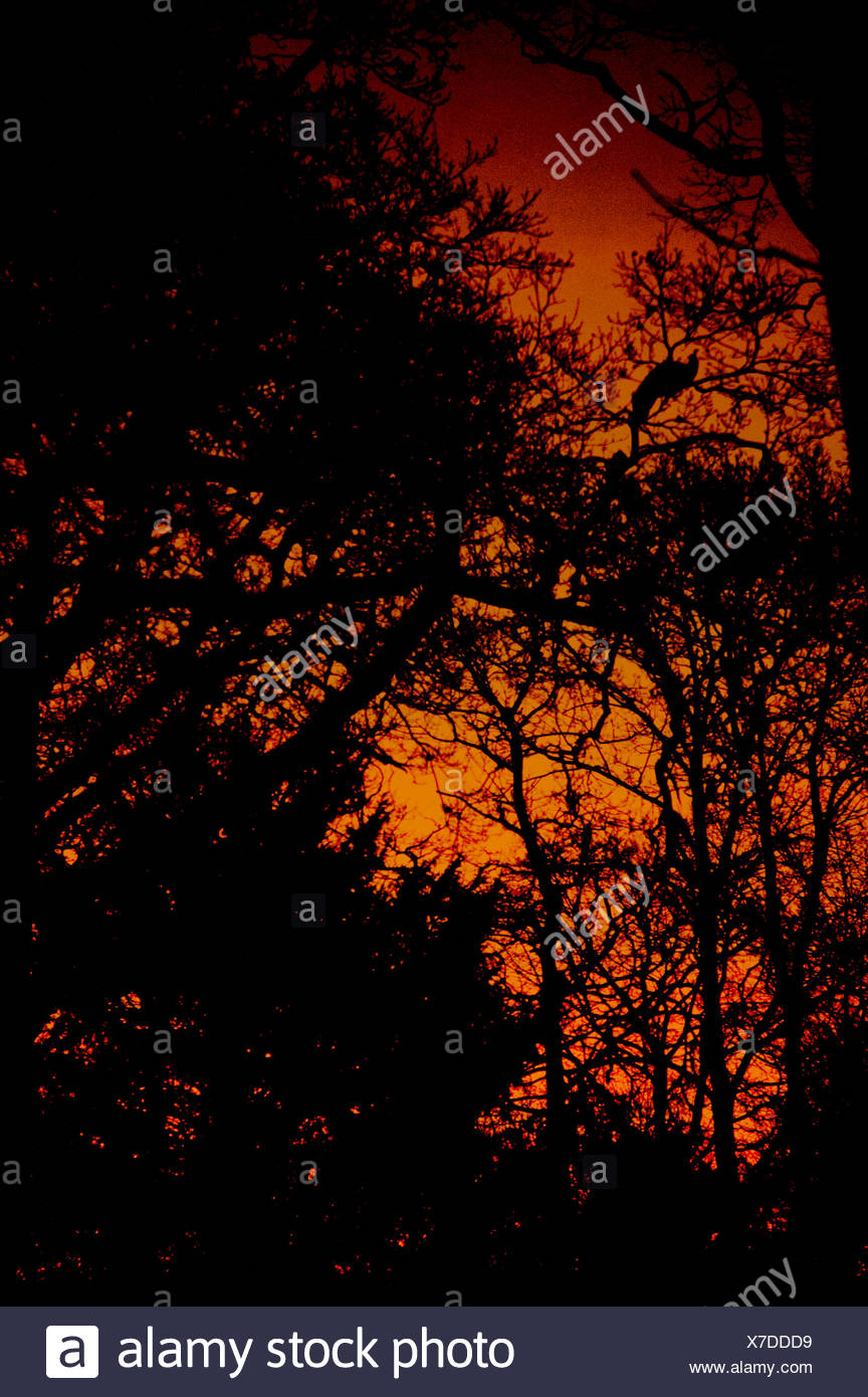 A silhouette of a peacock roosting in a tree at sunset - Stock Image