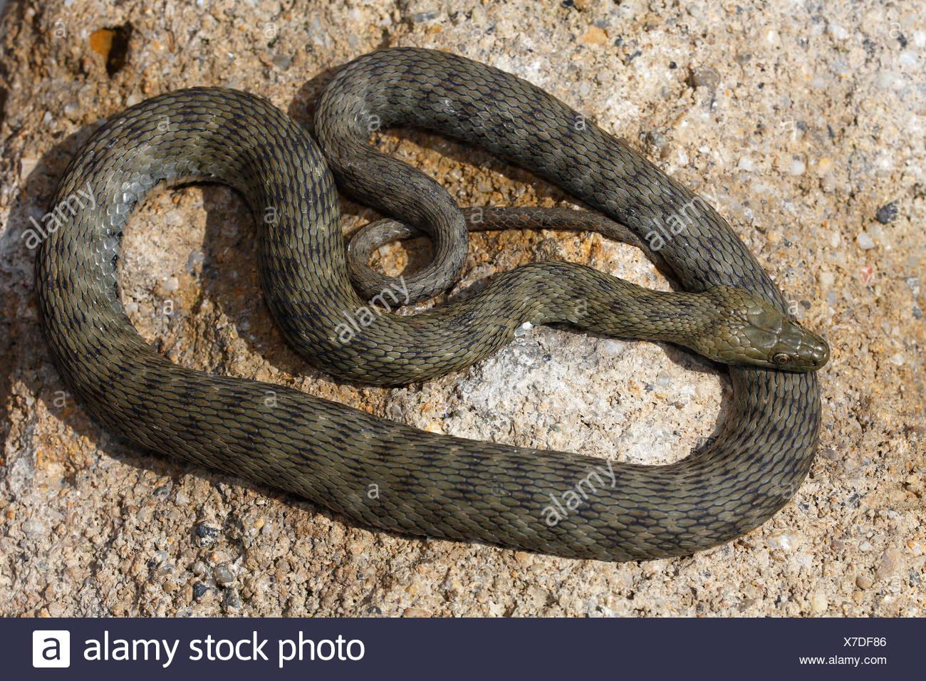 Dice Snake (Natrix tessellata) basking on stone, Hungary - Stock Image