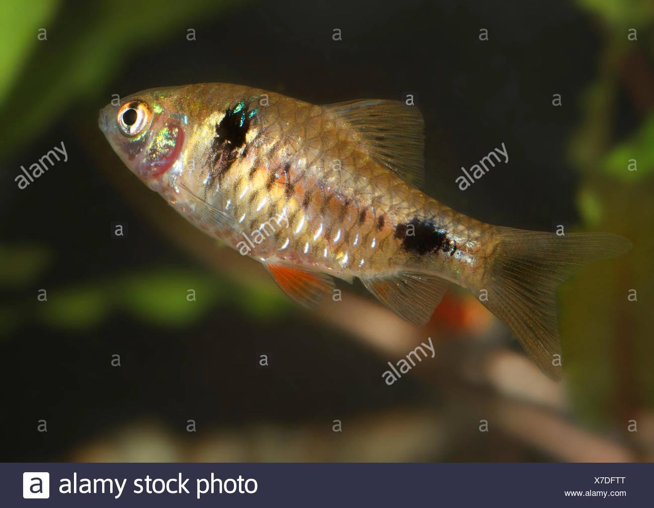 Barbel Puntius Cf Sophore Freshwater Fish Aquarium Fish Myanmar