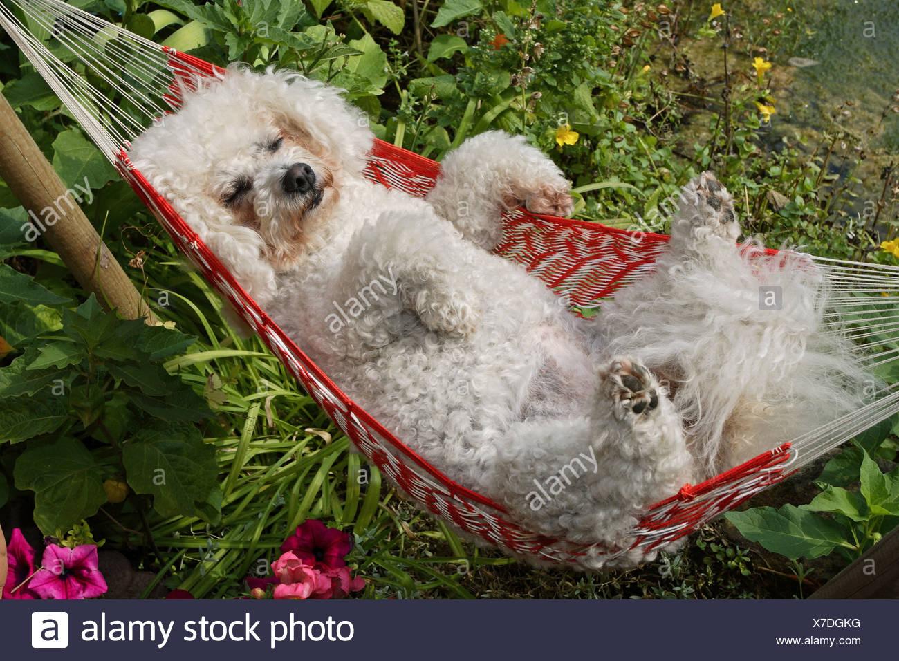 Bichon à poil frisé - in hammock - Stock Image