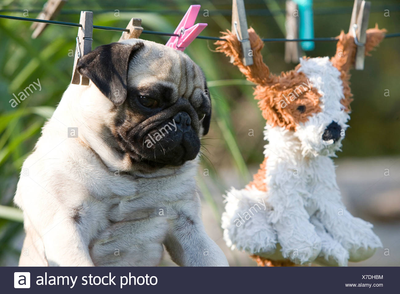 A pug and its freshly washed toy on the laundry line - Stock Image