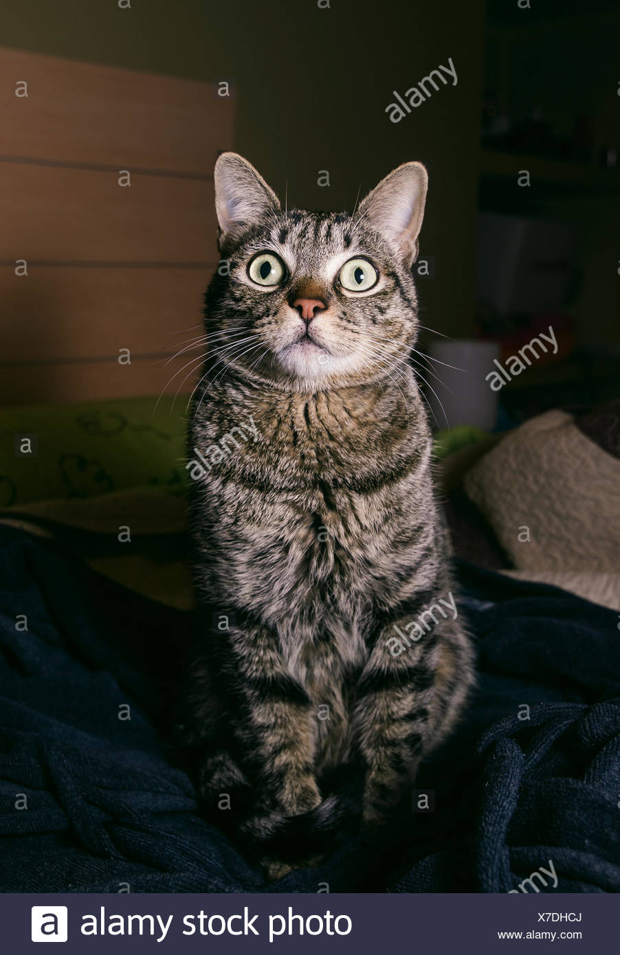 Portrait of tabby cat with eyes wide open - Stock Image