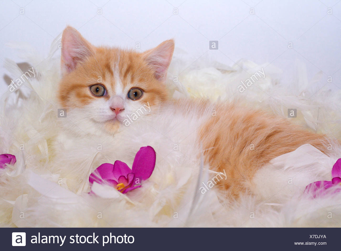 British Shorthair (Felis silvestris f. catus), nine weeks old red and white tomcat lying on a feather boa Stock Photo