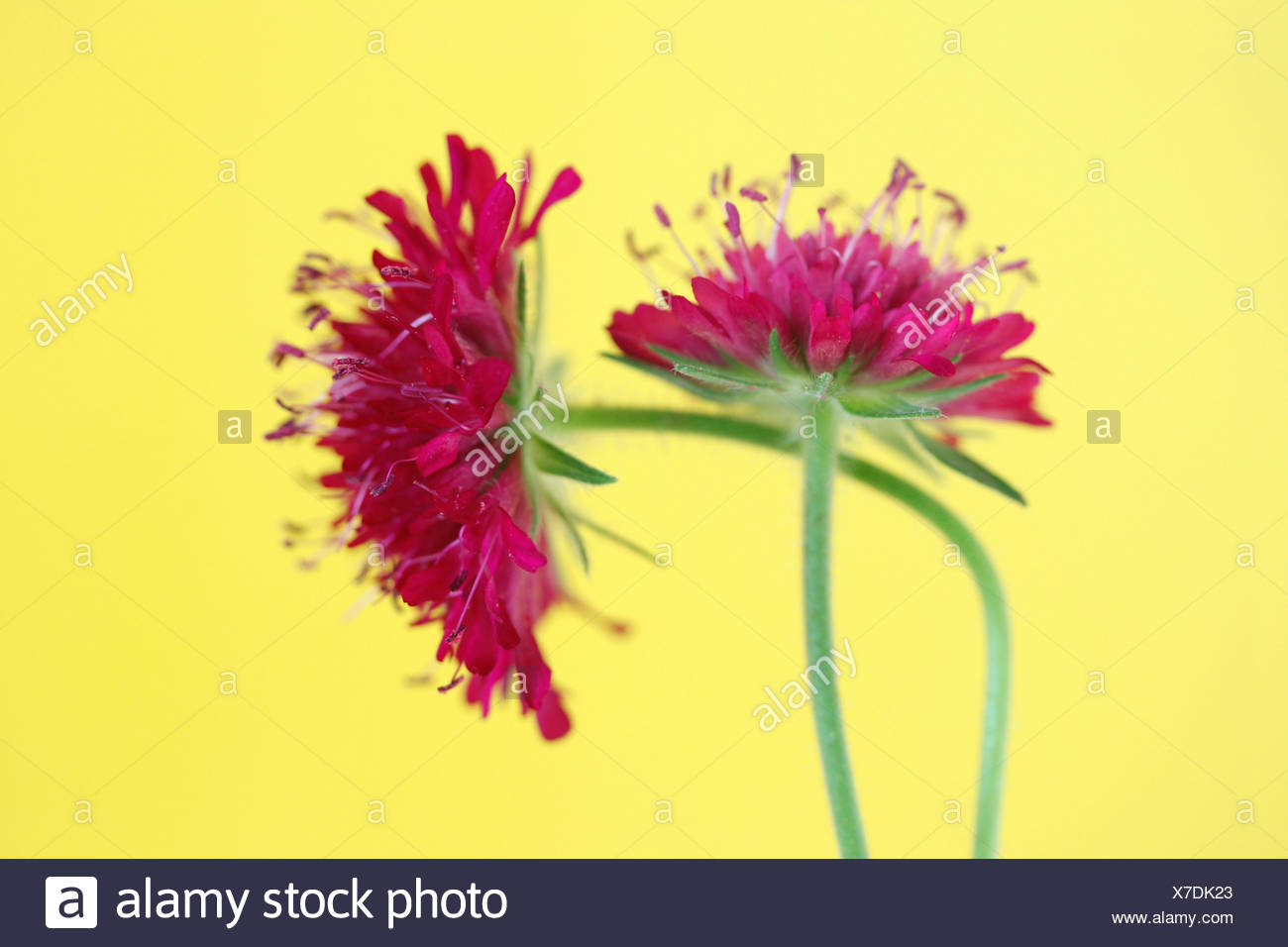 Two Field Scabiouses or Gipsy Roses (Knautia arvensis) - Stock Image