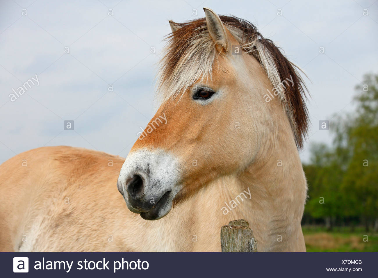 Fjord Horse High Resolution Stock Photography And Images Alamy