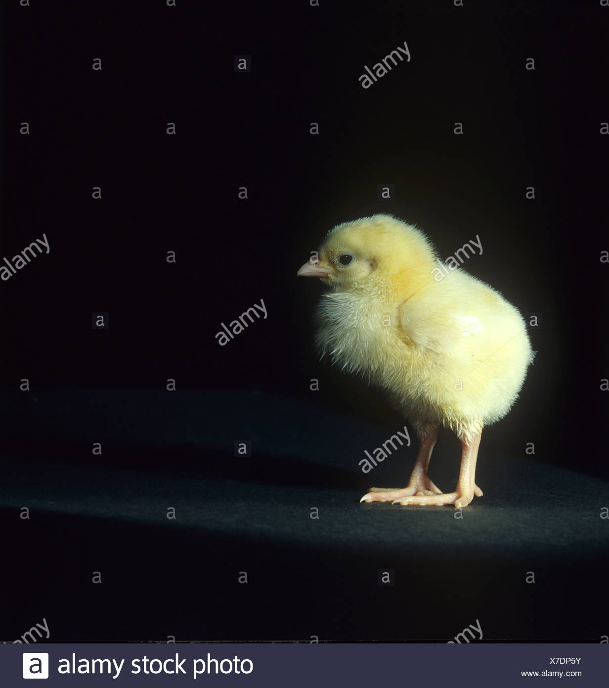 Day old chick against a black background - Stock Image