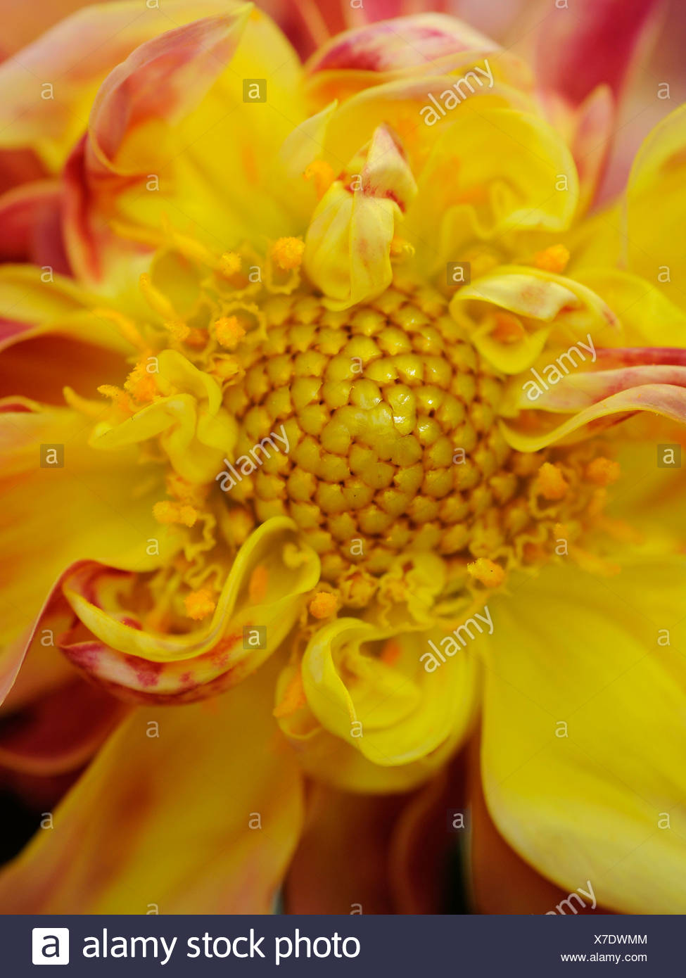 The inside of a freshly cut dahlia flowerhead showing th stamen and pollen - Stock Image