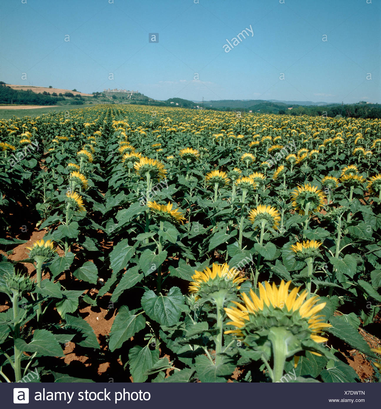 A sunflower crop with the flowers turned away from the camera Tuscany Italy Stock Photo
