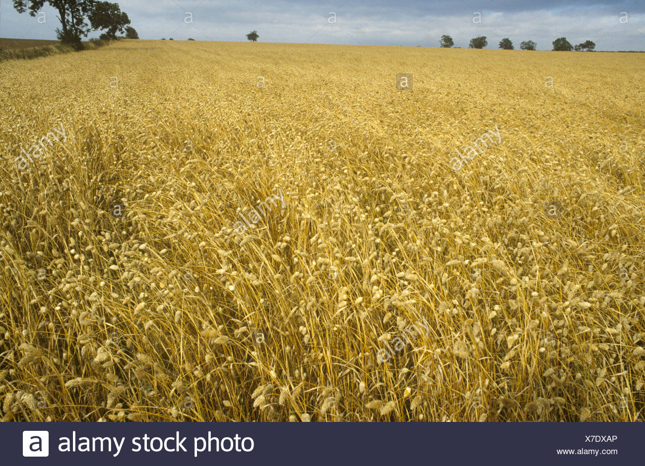 Canary Grass Phalaris canariensis in ripe seedhead grown as crop - Stock Image