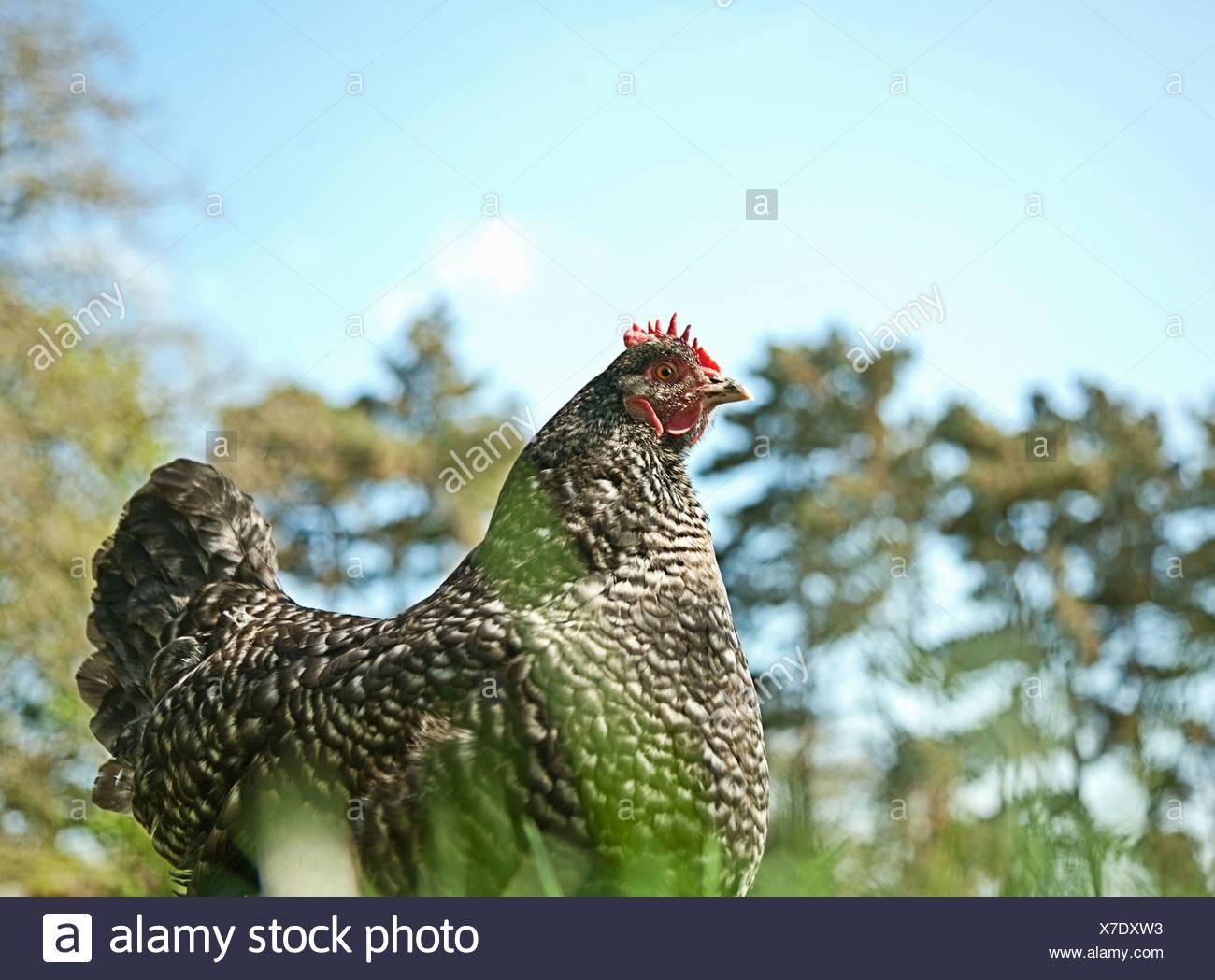 Portrait of free range speckled hen in sunlight - Stock Image