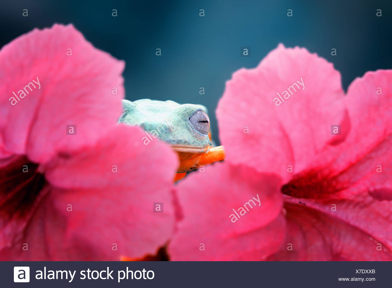 Tree frog hiding behind a flower, Indonesia Stock Photo
