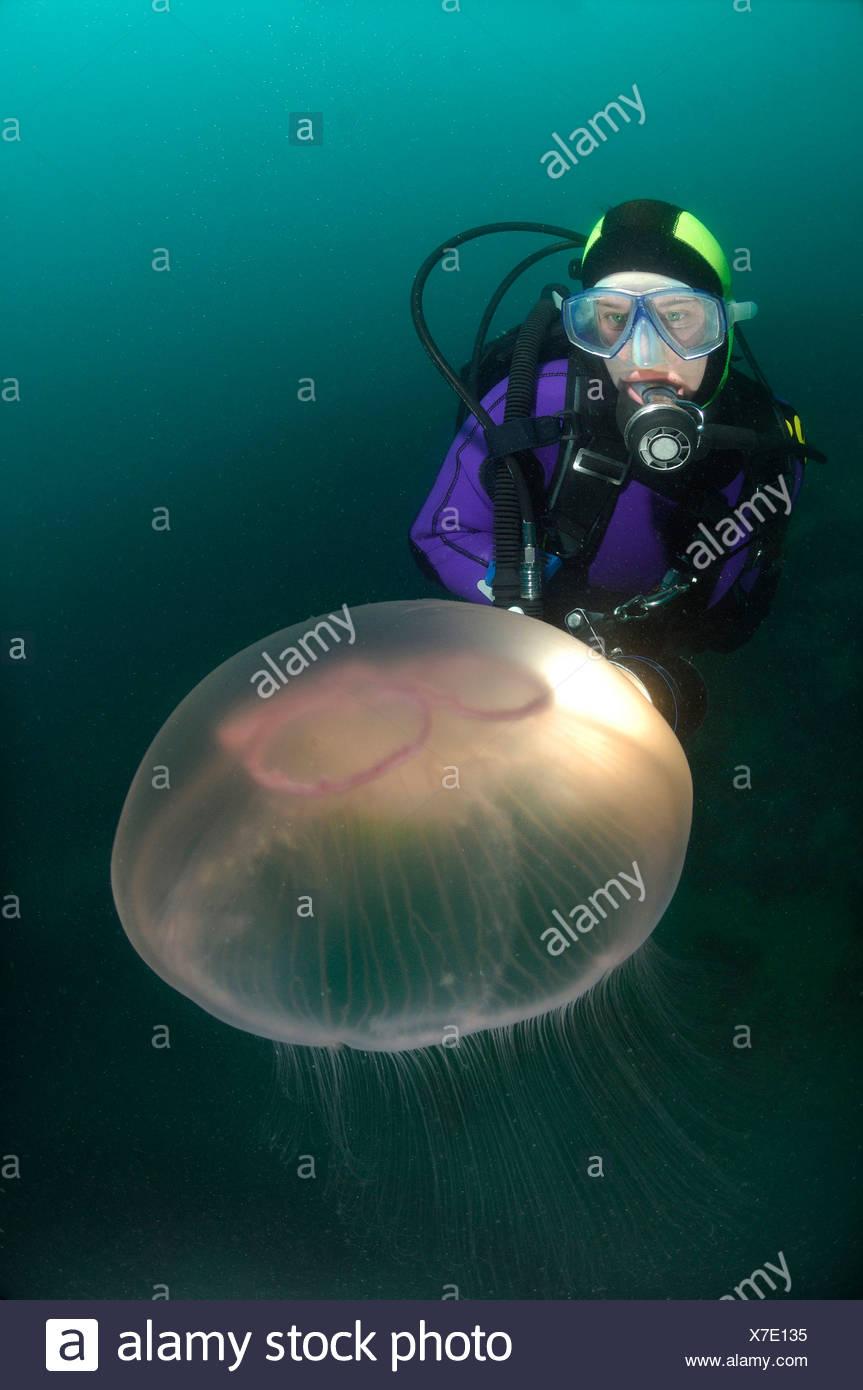 Moon Jellyfish and Scuba Diver, Aurelia aurita, Piran, Adriatic Sea, Slovenia - Stock Image