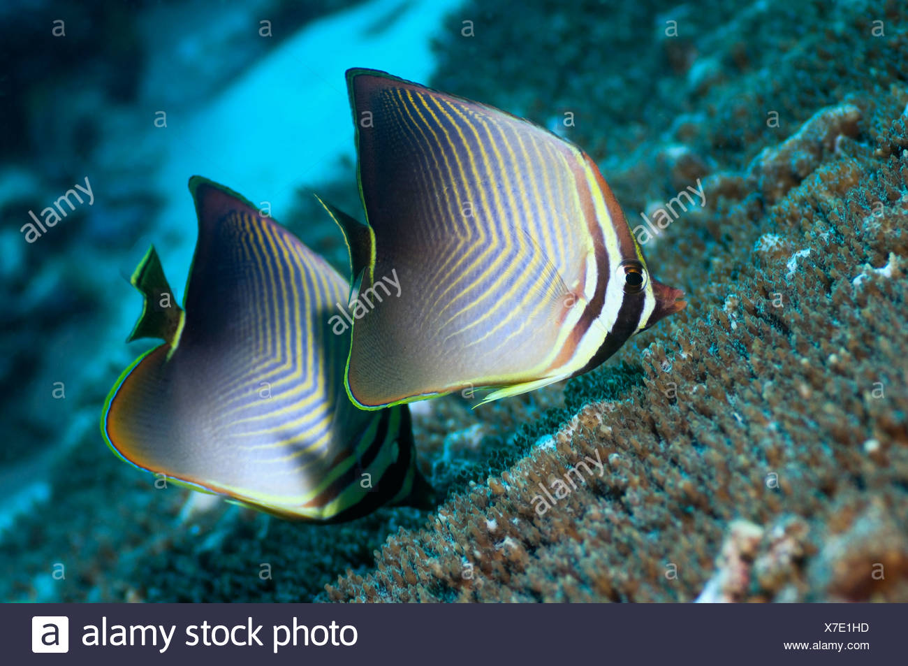 Eastern triangle butterflyfish pair feeding on coral polyps.  Raja Ampat, West Papua, Indonesia. - Stock Image