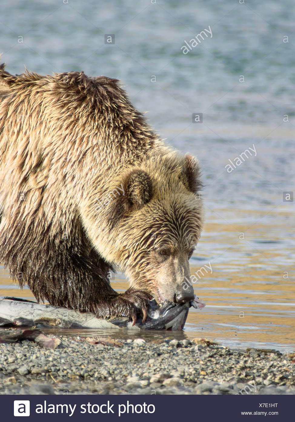 Grizzly Bear (Ursus arctos horribilis), Adult, on waters edge of a salmon stream with Spring (Chinook, Tyee, King) Salmon (Oncorhynchus tshawytscha), Central British Columbia, Canada - Stock Image