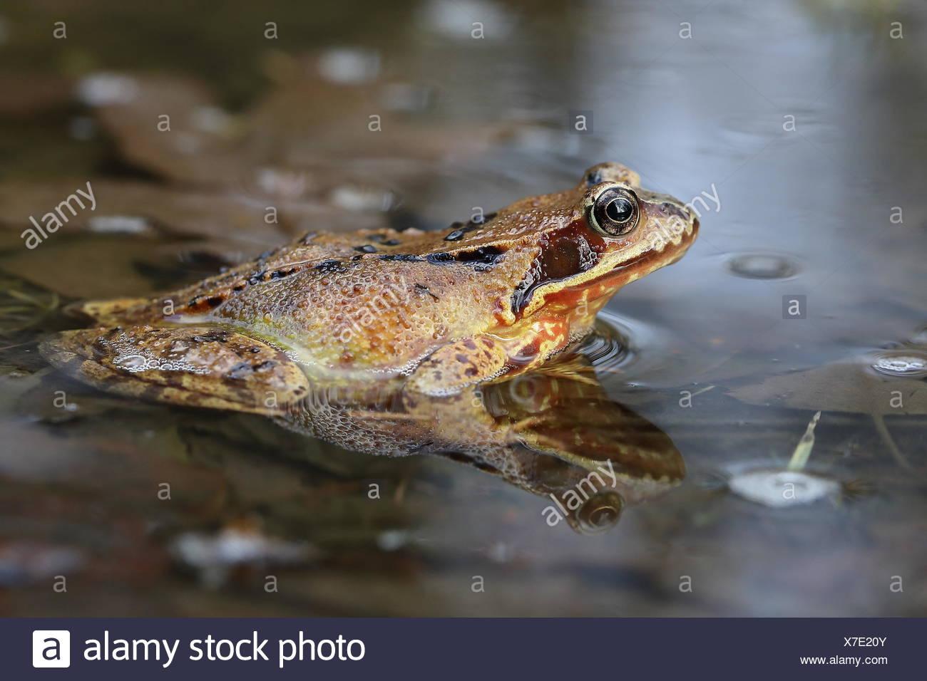 European common frog (Rana temporaria) sitting in shallow water, Malscheid Nature Reserve, Siegerland, North Rhine-Westphalia - Stock Image