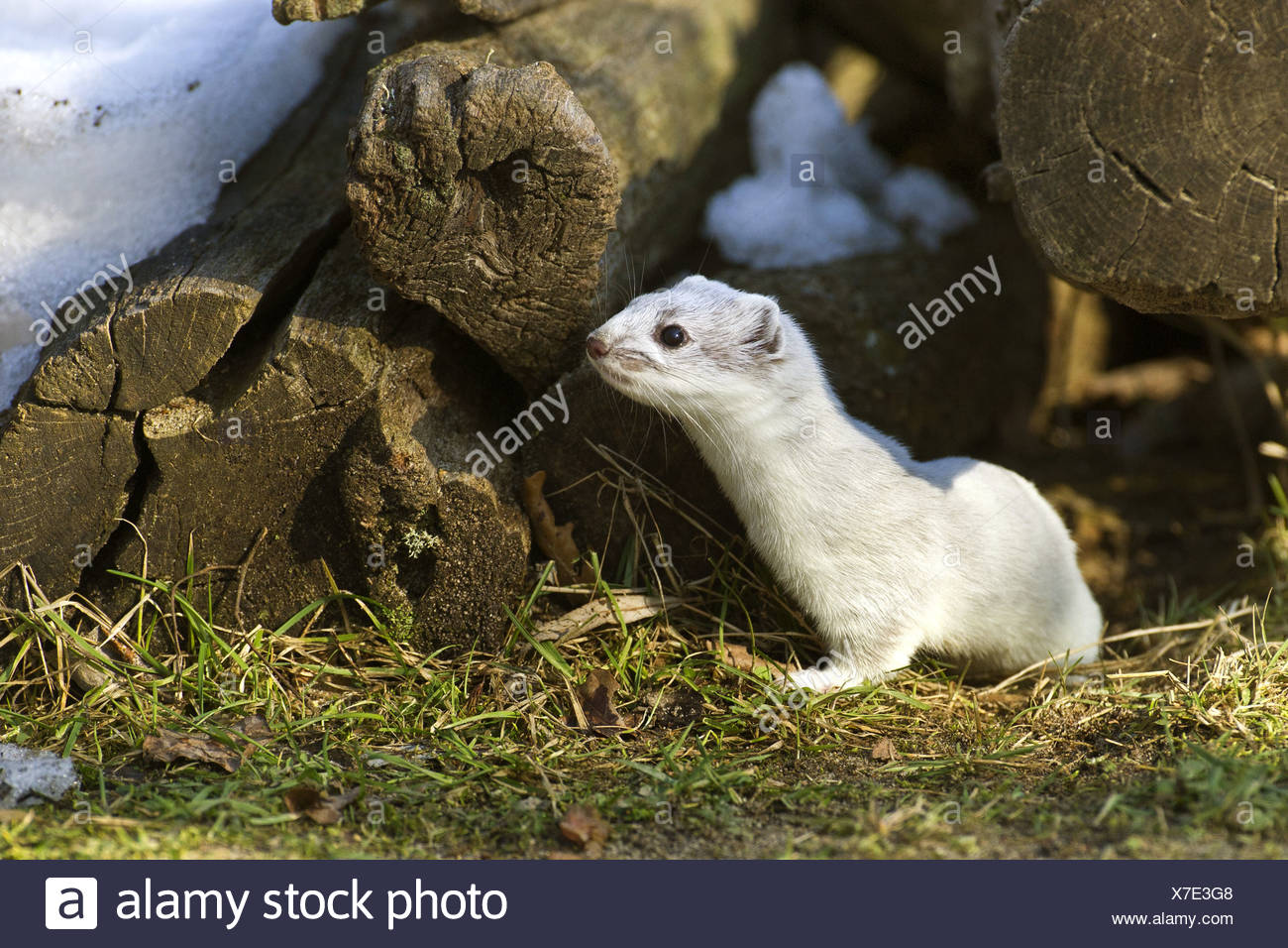 ermine, stoat (Mustela erminea), in winter pelage next woodpile, Germany, Lower Saxony - Stock Image